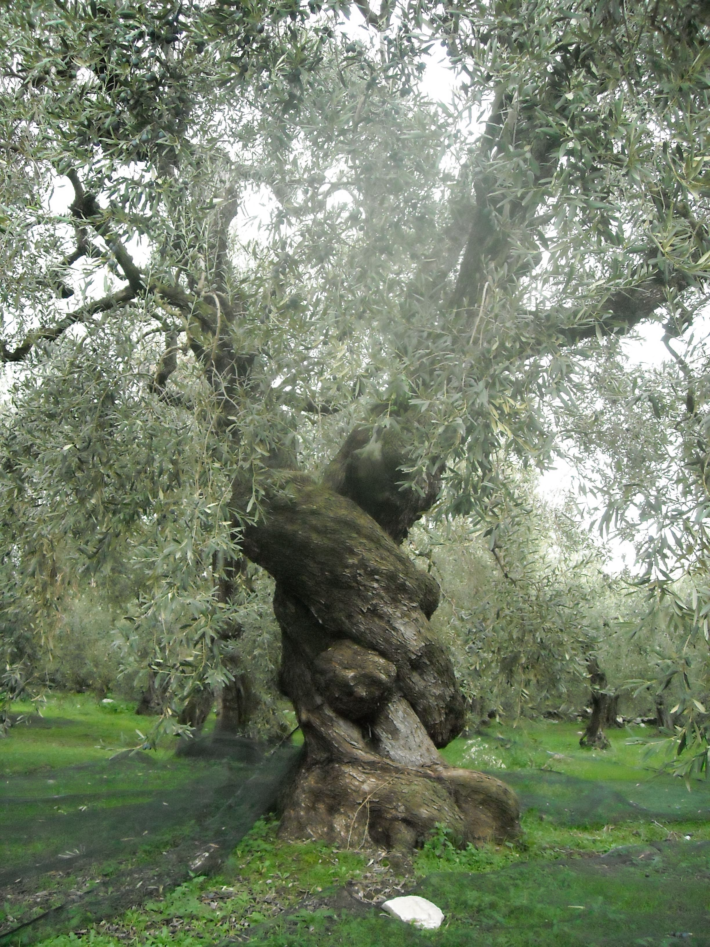 exceptional what does an olive tree look like Part - 5: exceptional what does an olive tree look like good ideas