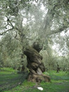 Ancient_Olive_Tree_in_Pelion,_Greece